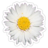 Nine Common Daisies Isolated on A Black Backgound