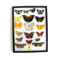 20% OFF SALE / Vintage Framed pressed Butterflies. Riker Specimen box with brown and yellow butterflies. Wall hanging picture