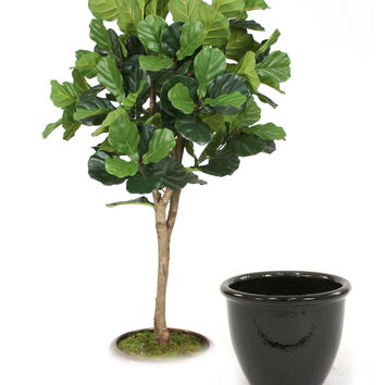 6' Fiddle Leaf Fig Tree in Glazed Black Stoneware Pot