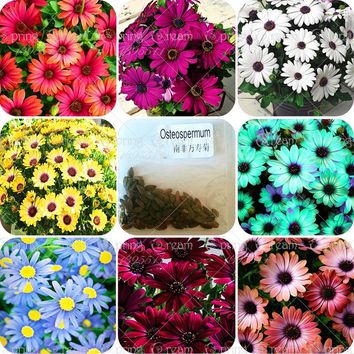 christmas gift! 30pcs/bag African rare Blue Eyed Daisy Seeds Osteospermum seeds bonsai Potted Flowering Plants for Home Garden