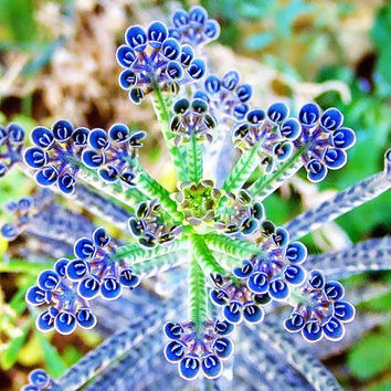 100 Mother of Thousands Seeds| Kalanchoe Delagoensis | Butterflies Sparkler Exotic Rare Xeriscaping Mesembs Succulent Cactus Garden Plant