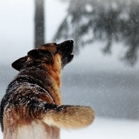 German Shepherd photography,dog,beautiful,howling,wolf,winter,snow