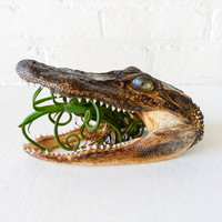 Little Alligator Air Plant Garden Science Taxidermy Specimen Unique Terrarium Planter