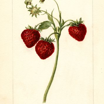 Strawberries, Meeks (1897)