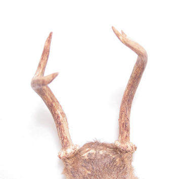 Vintage Taxidermy Deer Antlers and Top of Skull with Fur