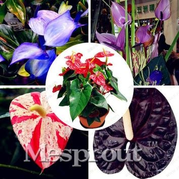 MIX Kinds Rare African Anthurium Seed, Anthurium Andraeanu Seeds, Indoor Potted flowers Anthurium plant 100 particles / bag