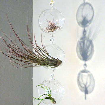 Column of Three Hanging Double-Hook Glass Orb Terrariums Complete with Three Exotic Tillandsia Air Plants. Gorgeous Minimalist Design.