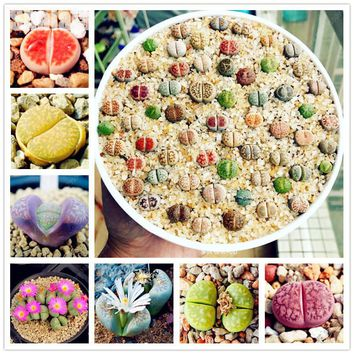 50 Mini Lithops Seeds,Lovely Indoor Flesh Plant,Succulents Raw Stone Cactus Seeds Potted Flowers Fleshy Plant