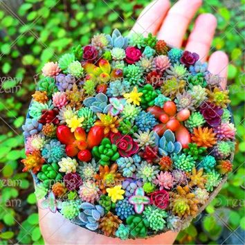 100 pcs/bag Real mini succulent cactus bonsa rare succulent perennial herb plants bonsai pot flower indoor plant for home