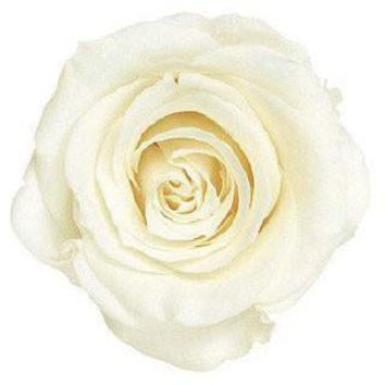 """Box of 8 Preserved Roses in Antique White - 2"""" Wide"""