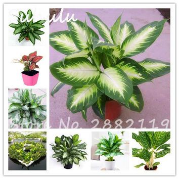 Heirloom Aglaonema Green Taro Seeds 100 Pcs Perennial Flower Elephant Ears Indoor Bonsai Plants Fresh Air Home Garden Decoration