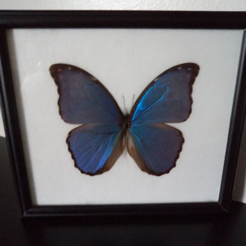 Real Butterfly Blue Morpho  Giant (Morpho Didius) Framed Display Taxidermy Lepidopterology Entomology Zoology