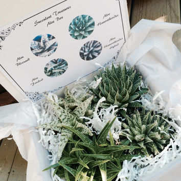 Succulent Treasures Aloe Box.  Assorted Premium Aloe succulents gift box.