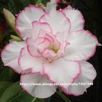 5 seeds pack multi-layers White Color Pink Rim Desert Rose flower seeds Adenium Obesum Seed