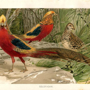 Golden Pheasant Antique Print, Color Lithograph, Chinese Pheasant, Goldfasan
