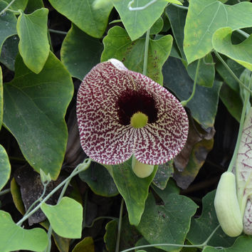 Calico Flower Seeds (Aristolochia elegans)