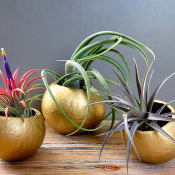 Gold Holiday Tillandsia Air Plant Trio: Three Unique Air Plants in Natural Gold Shimmer Containers / Holiday Gift Idea!