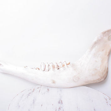 Giant Novelty Antique Buffalo Jaw Bone