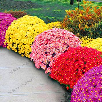 Hot Sale!100pcs/bag Ground-cover chrysanthemum seeds, chrysanthemum perennial bonsai flower seeds daisy potted plant for home ga