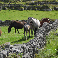 Horses Photo Ireland Horse Photo Nature and Wildlife Photo Print Matted 8x10 Free Shipping 11x14 5x7