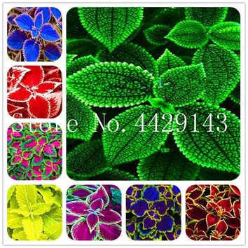 Bonsai Coleus plant Beautiful Foliage Plants Perfect Color Rainbow Dragon Bonsai Easy To Grow DIY Home Garden-150 Pcs for sale