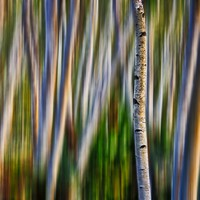 Blurred Birch Forest - Abstract Photography