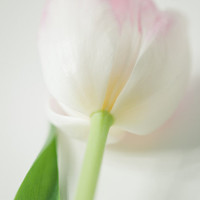 "Spring flowers- soft pink and green photo art of white tulip - 5x7"" (13x18cm)"