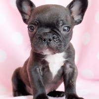 French Bulldog Puppies For Sale South Florida
