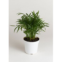 "LIVE 4"" Bella Palm Indoor House Plant - Ships Alone"