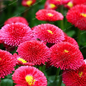 Big Promotion! 200 Seeds A Lot African Strawberry Ice Cream Little Daisy Seeds Osteospermum seeds Garden Plant Bonsai Mix Flower