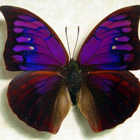 Framed Butterfly Rare Purple Anaea Tyrianthina 822