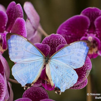 Real Pearl Morpho Photography