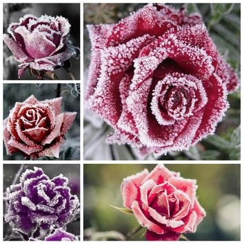 100 Pcs Holland Snow Rose Indoor Perennial Indoor Bonsai Potted Charming Living Room Rosas Flower Seedsfor Home Garden Planting