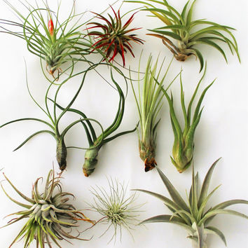Air Plants - Tillandsia (Assorted 10 Pack)
