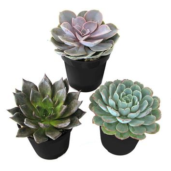 9 cm. Assorted Desert Rose Echeveria Succulent Plant (3-Pack)-0881005 - The Home Depot