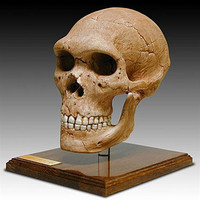 Neandertal Skull with Stand from Hominid Series 9H - 5116