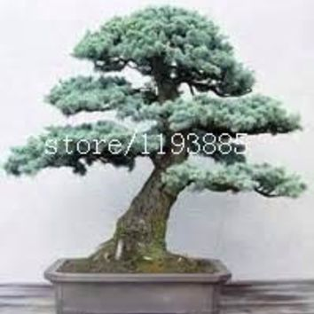 30pcs/bag Colorado Blue Spruce (Picea pungens) seeds,bonsai Evergreen tree seeds potted plant for home garden