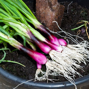 100 Onion, Apache (OP) Edible Shallot Scallion Red Bunching Vegetables Seeds Easy Growing Herb Home Garden Decor DIY Plants