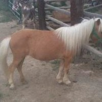 Petfinder Adoptable | Miniature Horse | Miniature Horse | Longmont, CO | whinny