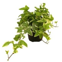 Delray Plants, Hedera Ivy in 4 in. pot, 90403 at The Home Depot - Mobile