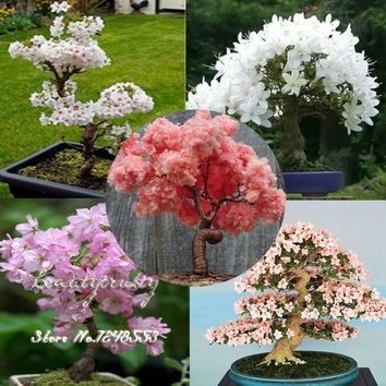 20 pcs 5 kinds Japanese sakura seeds Bonsai tree, bonsai seeds flower Cherry Blossoms, DIY home& garden, free shipping