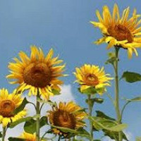 Heirloom 70 Seeds Skyscraper Helianthus annuus Sunflower Yellow Sun Flower Fresh Bulk B6073
