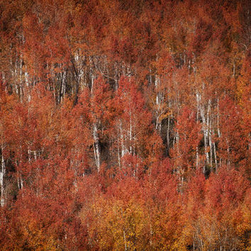 Autumn Aspen Trees, Fall Leaves, Abstract Landscape Photography, Colorado Leaf Photograph, Yellow, Red & Orange | 'Blaze'
