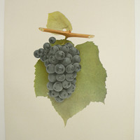 Vintage Grape Print Antique Fruit Print Marion 1908 Winery Art Kitchen Food Art Unique Christmas Gift Under 20 Gifts for Home Restaurant