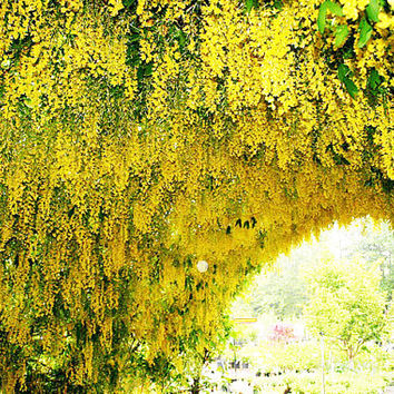 10 Yellow Wisteria Flower Seeds | Fragrant Gorgeous Sinensis Hot Selling Heirloom Vine Tree Seed for DIY Home Garden Plants Decor Bonsai