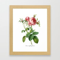 Vintage Rose - Redoute's Rosa Centifolia Foliacea Framed Art Print by digitaleffects