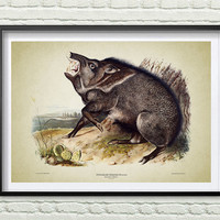 3 Colors Background, Vintage animals print, Peccary Print, Reproductions of old illustrations, Peccary poster, John Audubon *14.1*