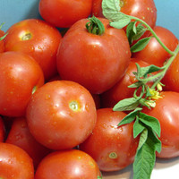Early Stupice Tomato Heirloom Garden Seed Non-GMO 30+ Seeds Extremely Early Cold-tolerant Open Pollinated