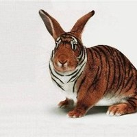 TIGER BUNNY GLOSSY POSTER PICTURE PHOTO rabbit bunnies cute funny stripes