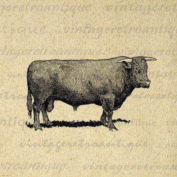 Printable Devon Bull Cow Digital Download Farm Animal Graphic Image Vintage Clip Art for Transfers Printing etc HQ 300dpi No.3546